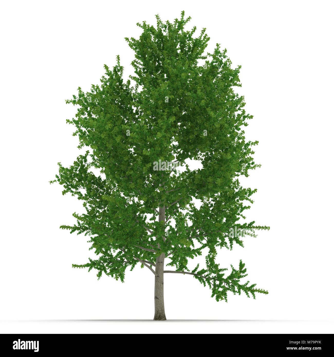 white poplar tree cut out stock images  u0026 pictures