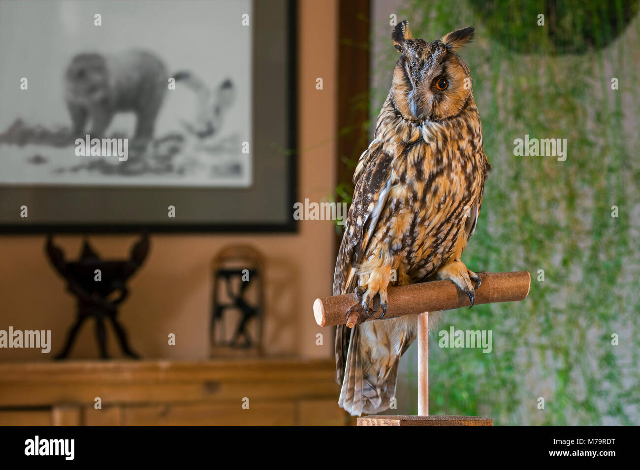 Stuffed long-eared owl (Asio otus / Strix otus) mounted lifelike on branch in living room at home - Stock Image