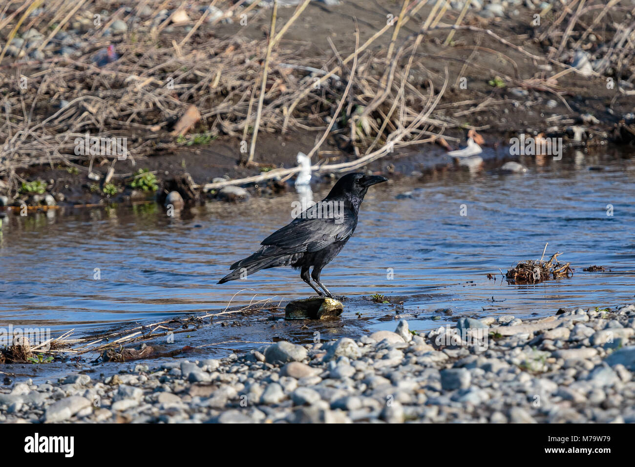 A jet black raven stands beside a small inlet on the shores of the Sagami River in Japan. - Stock Image