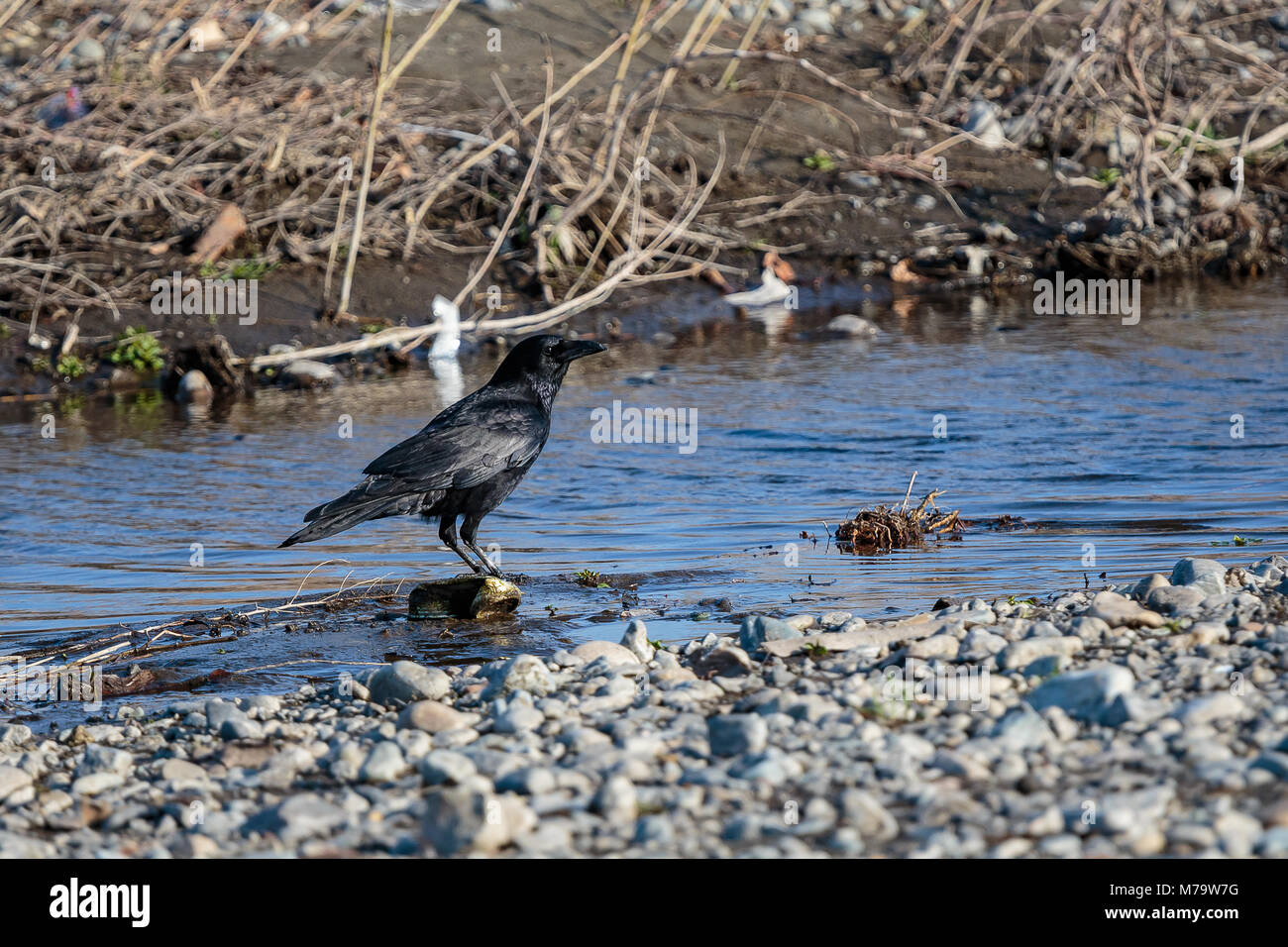 A jet black raven stands beside a small inlet on the shores of the Sagami River in Japan. Shot with copy space on - Stock Image