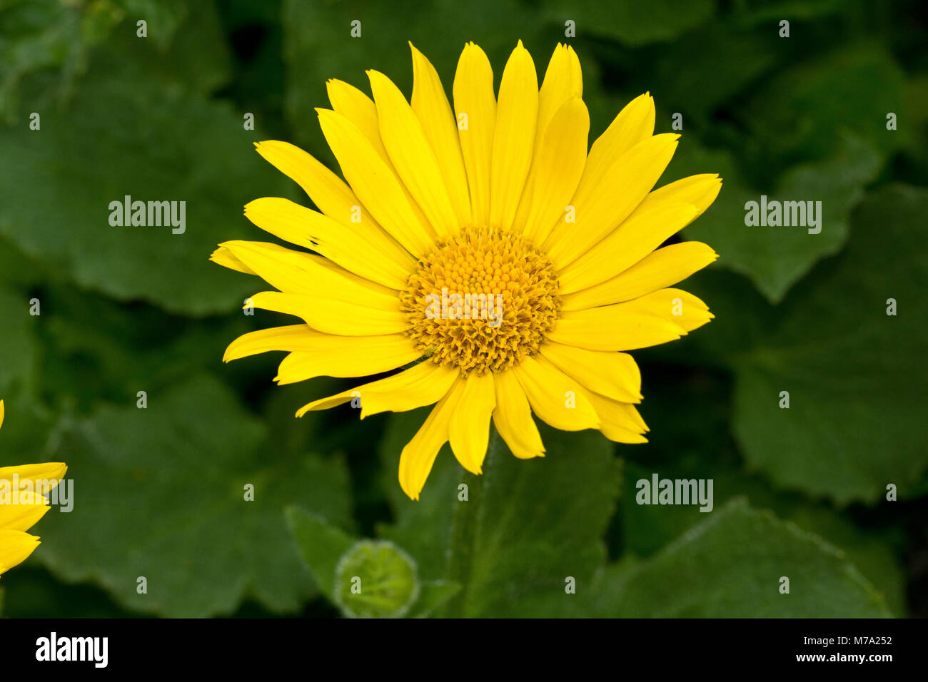 Inflorescence of large-flowering Leopard's-bane (Doronicum grandiflorum) - Stock Image
