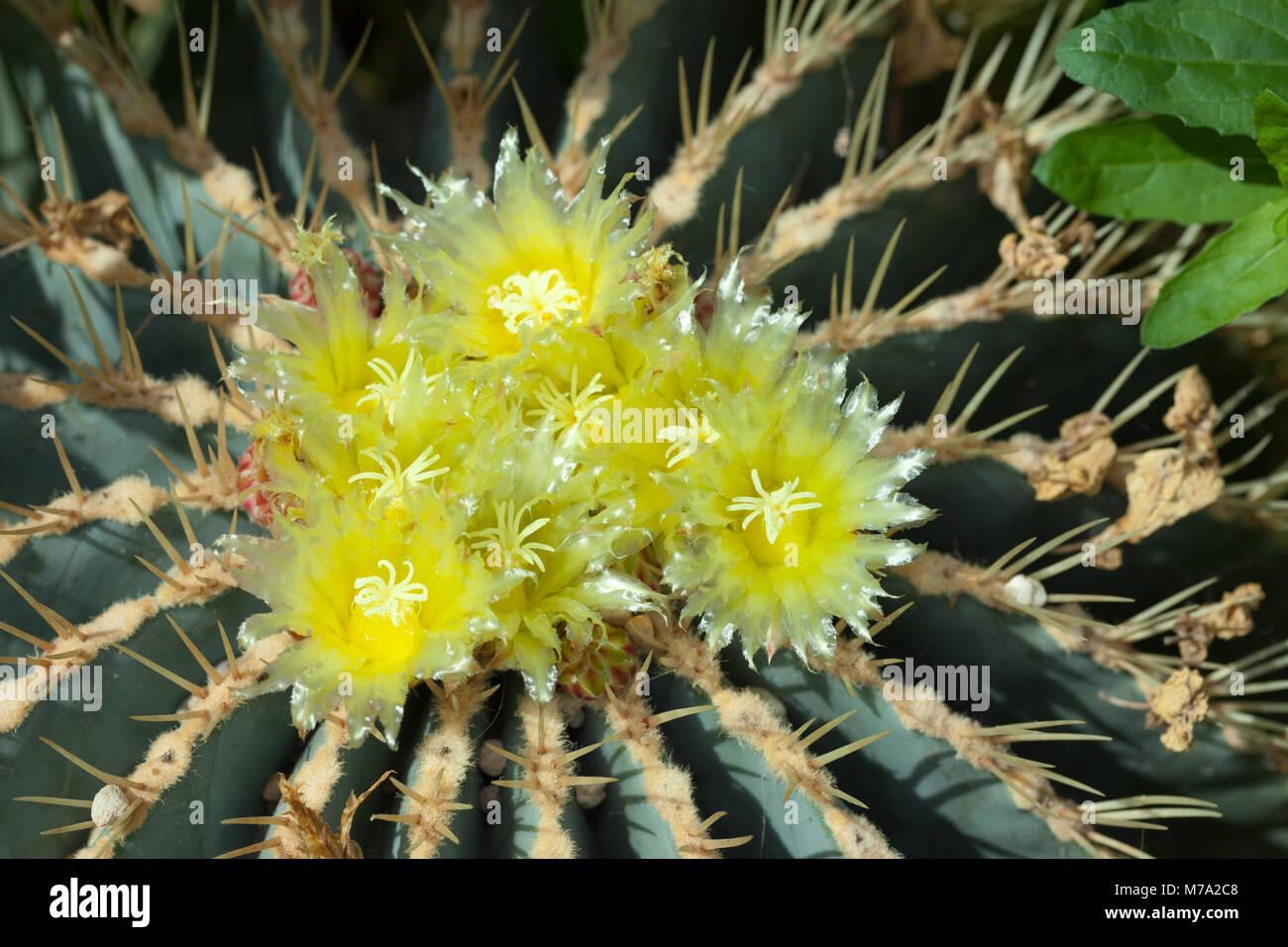 Glaucous barrel cactus, Blågrön djävulstunga (Ferocactus glaucescens) Stock Photo