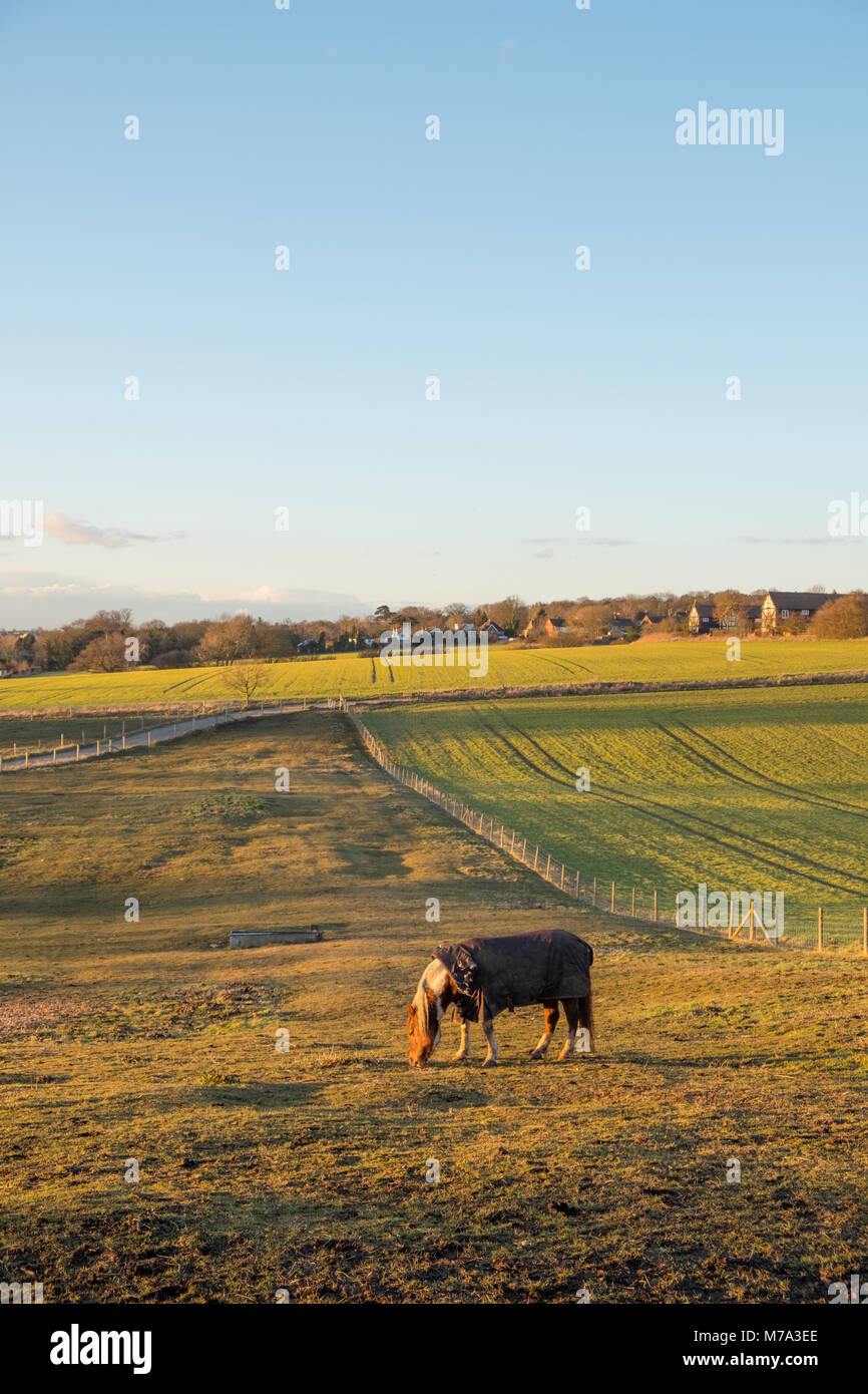 Horse grazing in field, low sun, blue sky with copy space Stock Photo