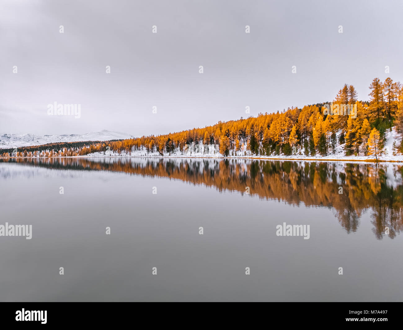 Beautiful reflection of autumn trees in the still water. Yellow larches and green spruces are covered in snow. A - Stock Image