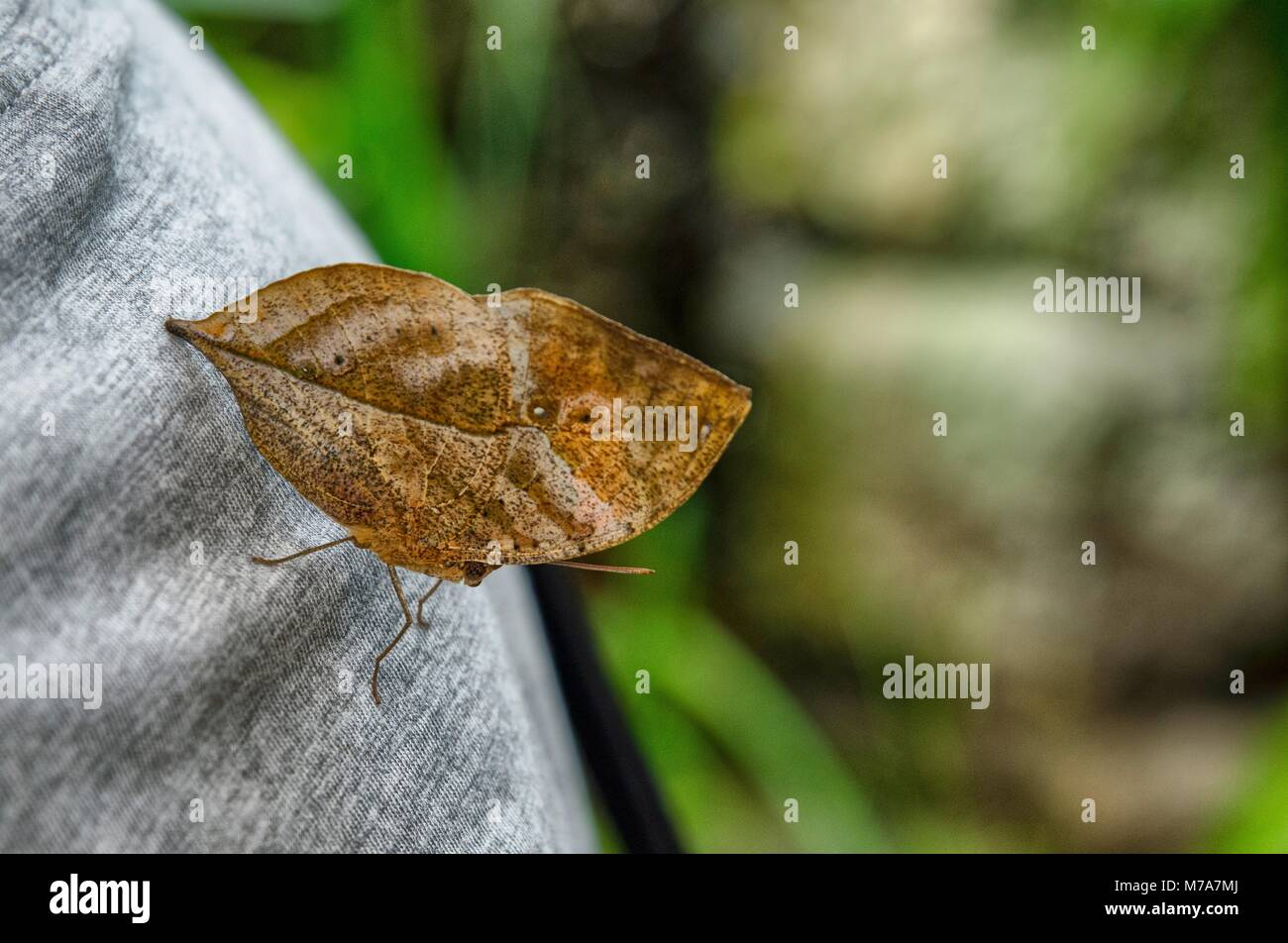 Butterfly leaf. With its wings closed, the butterfly has a remarkable resemblance to a dead leaf. Captivity insect - Stock Image