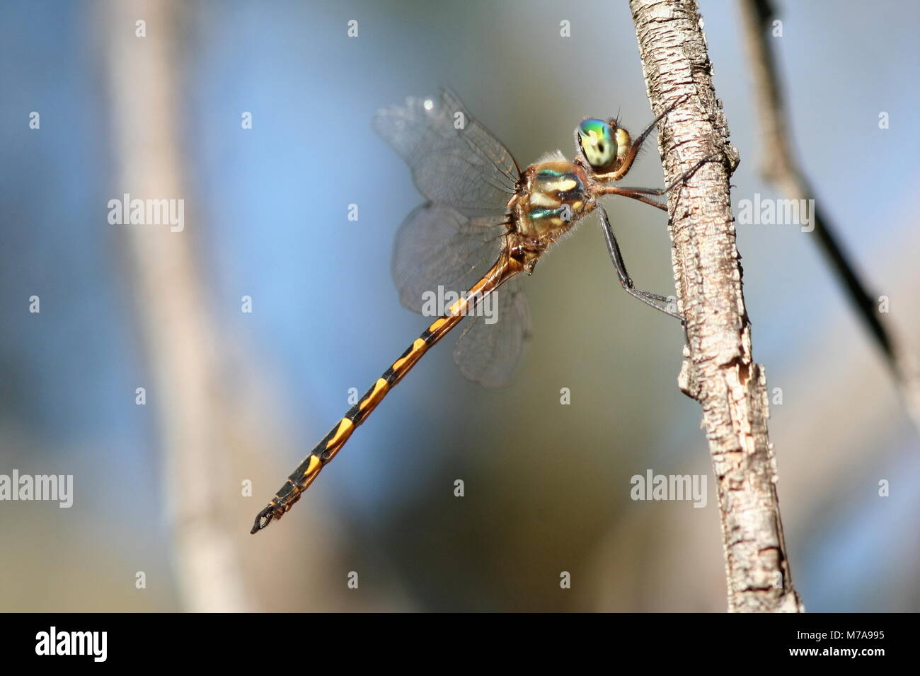 dragonfly stock alamy australian photo emerald