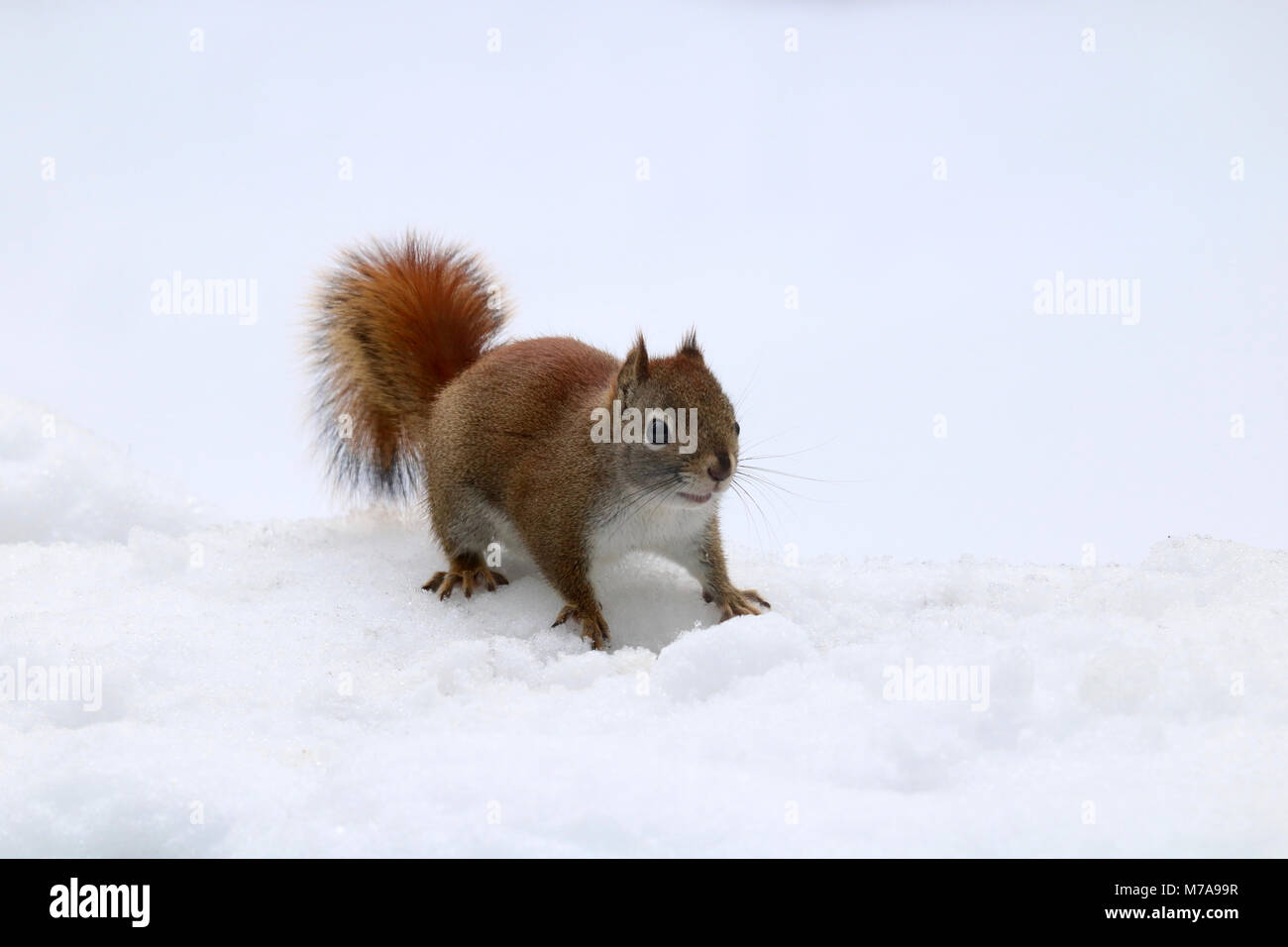 A little American Red Squirrel (Tamiasciurus hudsonicus) searching for food on a snowy day. - Stock Image