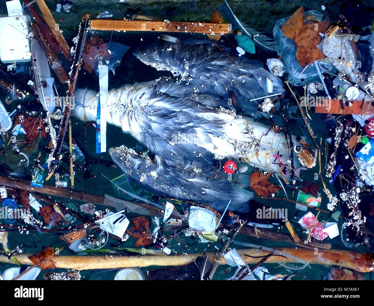 Dead bird floating in the water. Water pollution is largely caused by human activity and has had a major impact - Stock Image