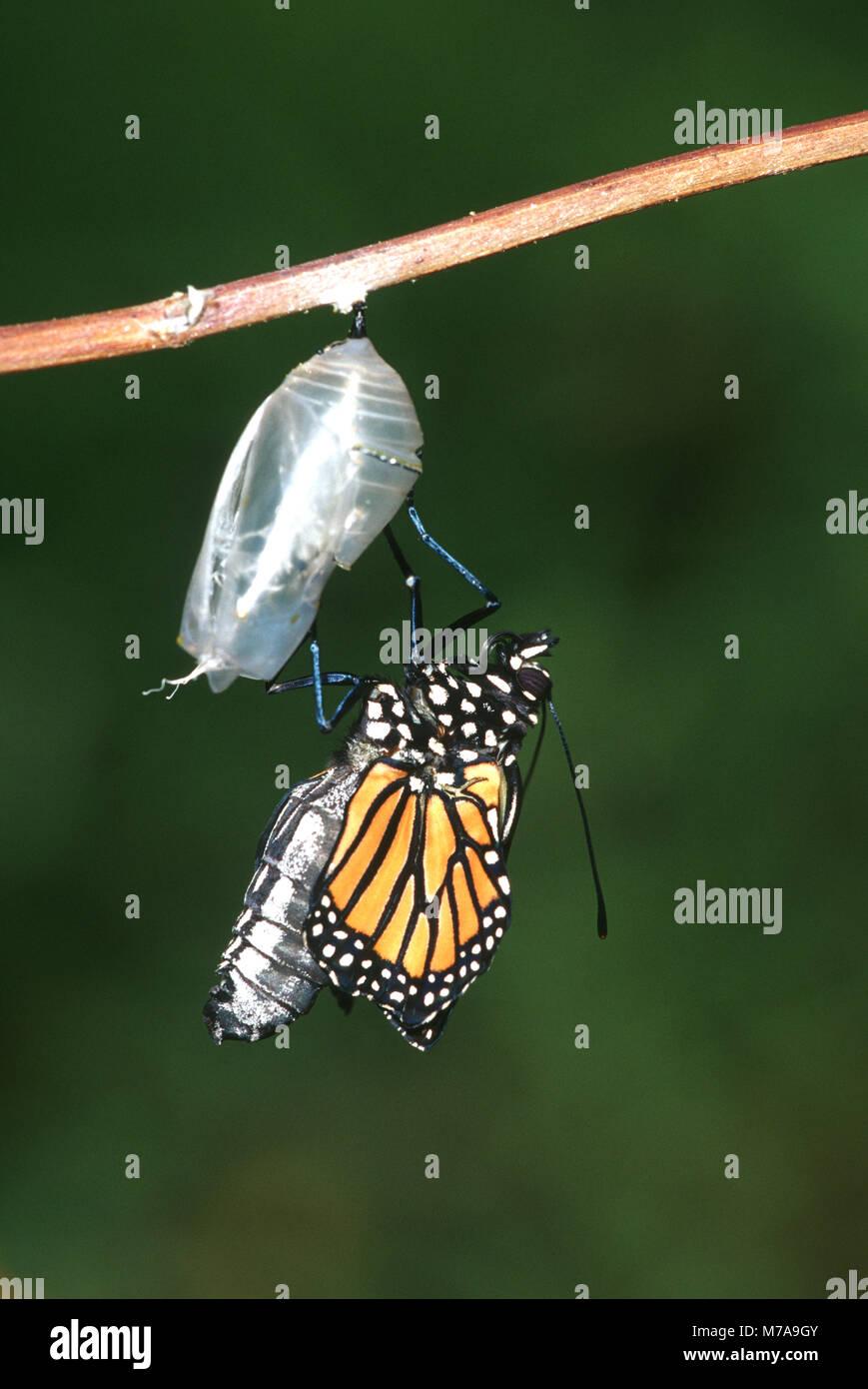 03536-032.09 Monarch (Danaus plexippus) emerging from pupa/chrysalis Marion Co. IL - Stock Image