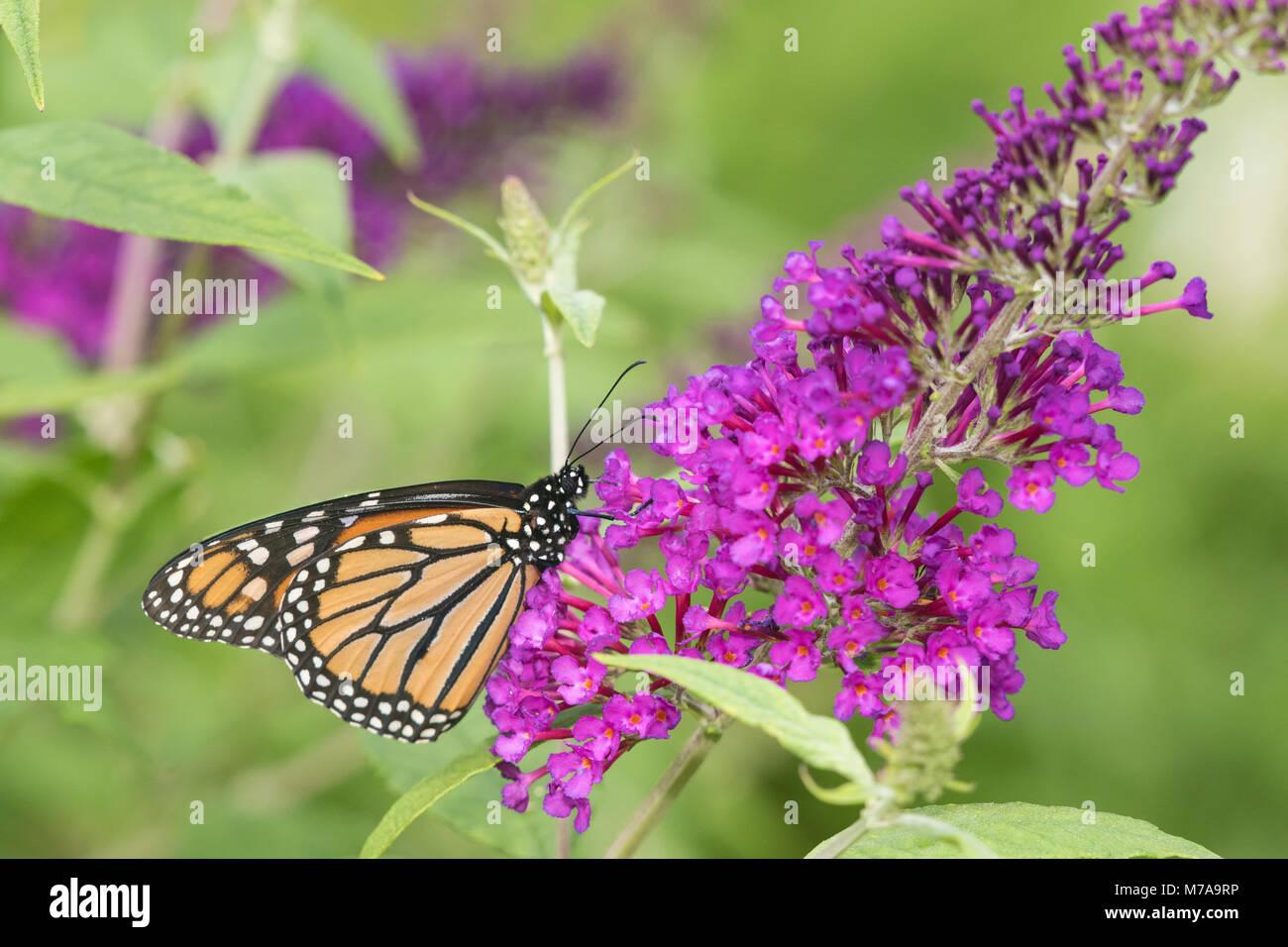03536-05605 Monarch Butterfly (Danus plexippus) on Butterfly Bush (Buddleia davidii),  Marion Co., IL - Stock Image