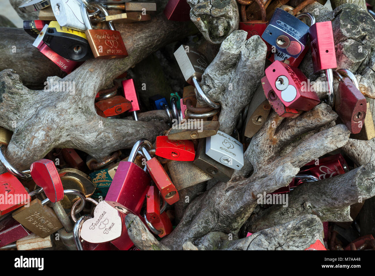 Love padlocks on a tree root, Zingst, Fischland-Darß-Zingst, Mecklenburg-Western Pomerania, Germany - Stock Image