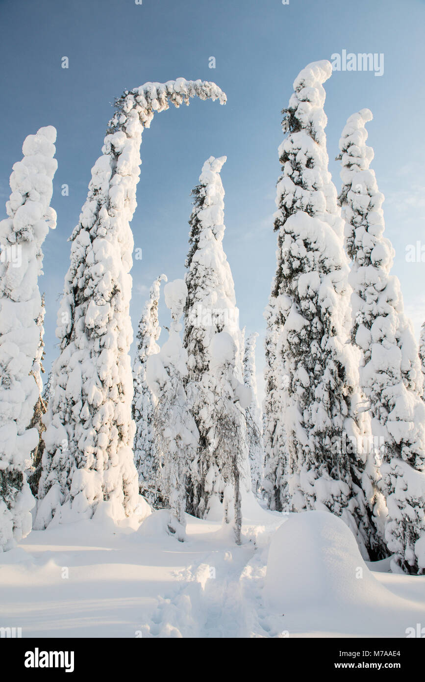 Snow-covered trees, Spruces, fjeld in winter, Riisitunturi National Park, Posio, Lapland, Scandinavia, Finland - Stock Image