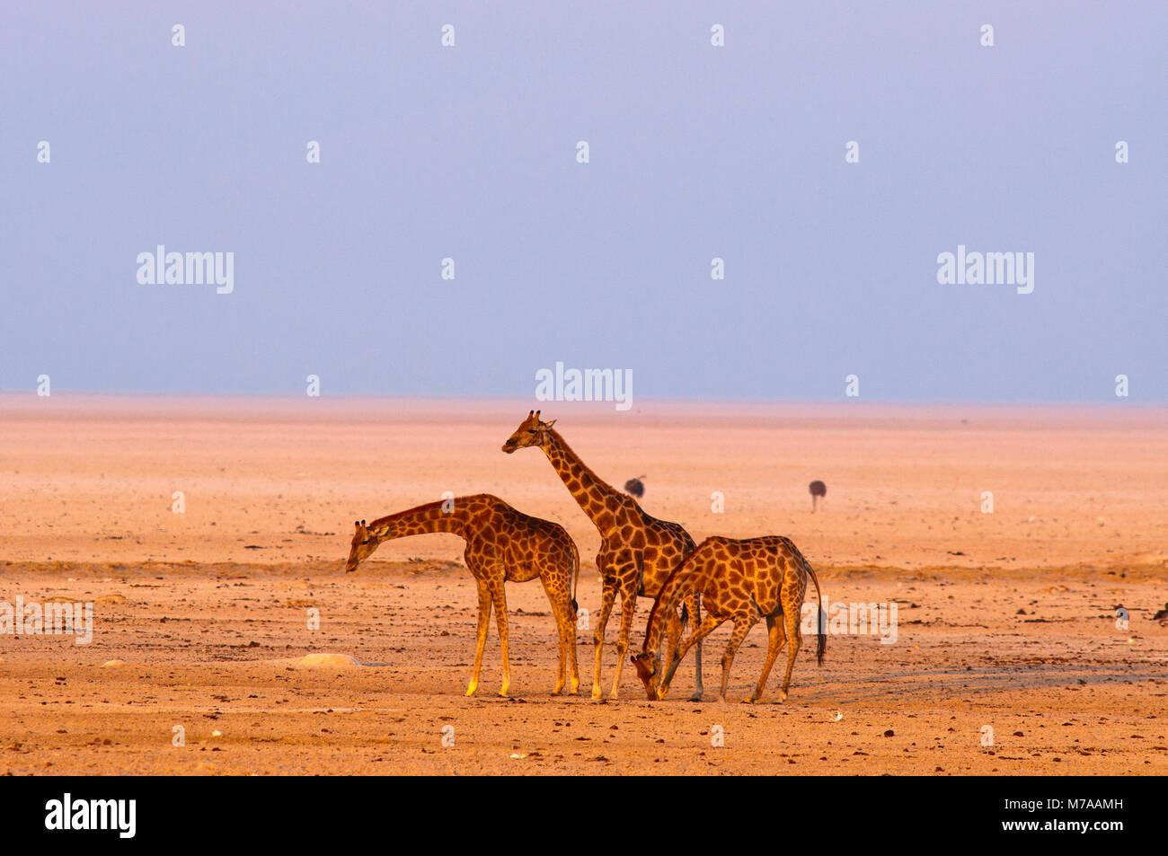 Giraffes and wildebest at Okondeka waterhole, Etosha National Park, Namibia - Stock Image