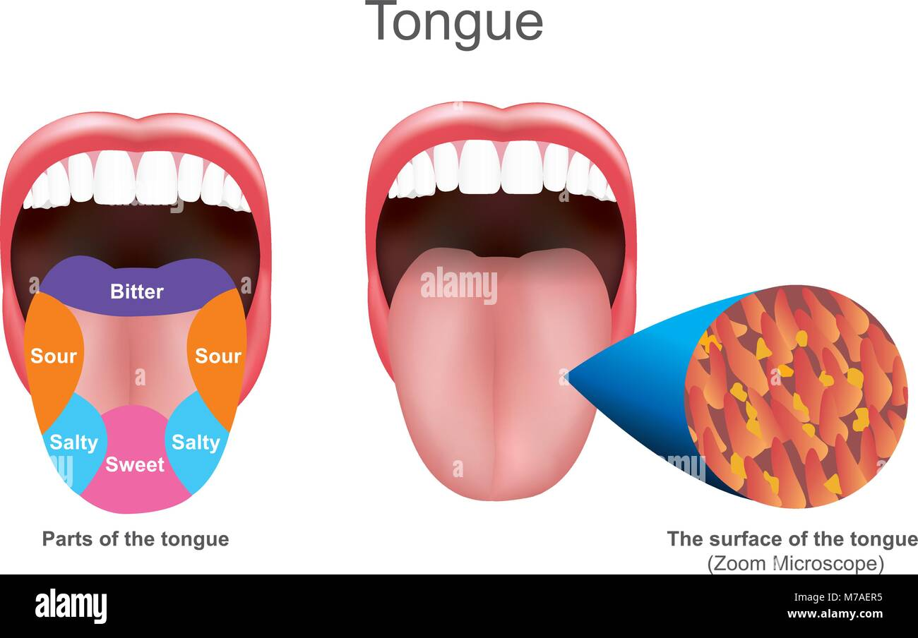 The tongue also serves as a natural means of cleaning the teeth.It is of importance in the digestive system and - Stock Image