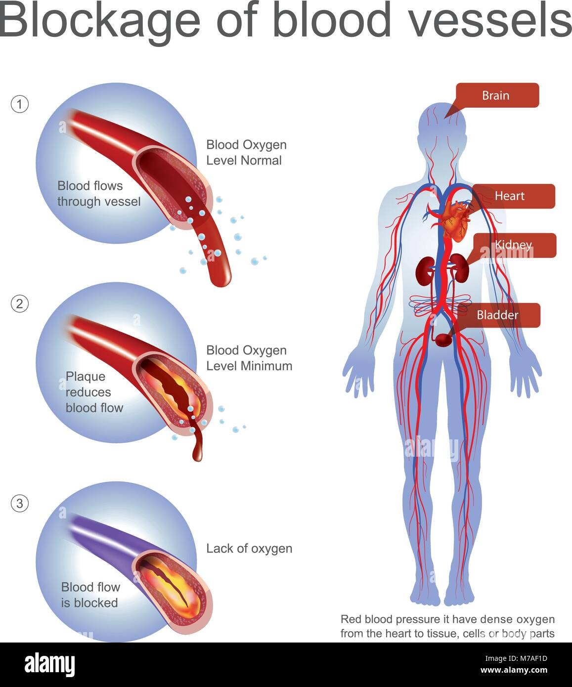 Red Blood Pressure It Have Dense Oxygen From The Heart To Tissue