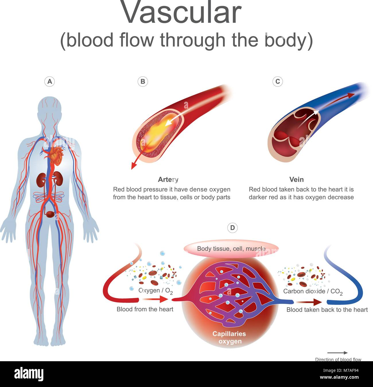 Red Blood Pressure It Have Dense Oxygen From The Heart To Tissue Human White Cell Diagram Cells Overview Stock Or Body Parts Taken Back Is Darker As Has Ox