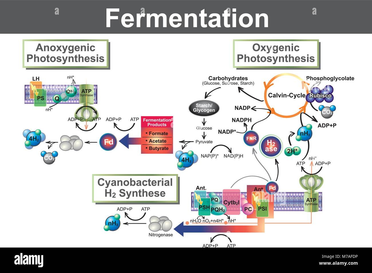 Fermentation is a metabolic process that converts sugar to acids, gases or alcohol. It occurs in yeast and bacteria, - Stock Image