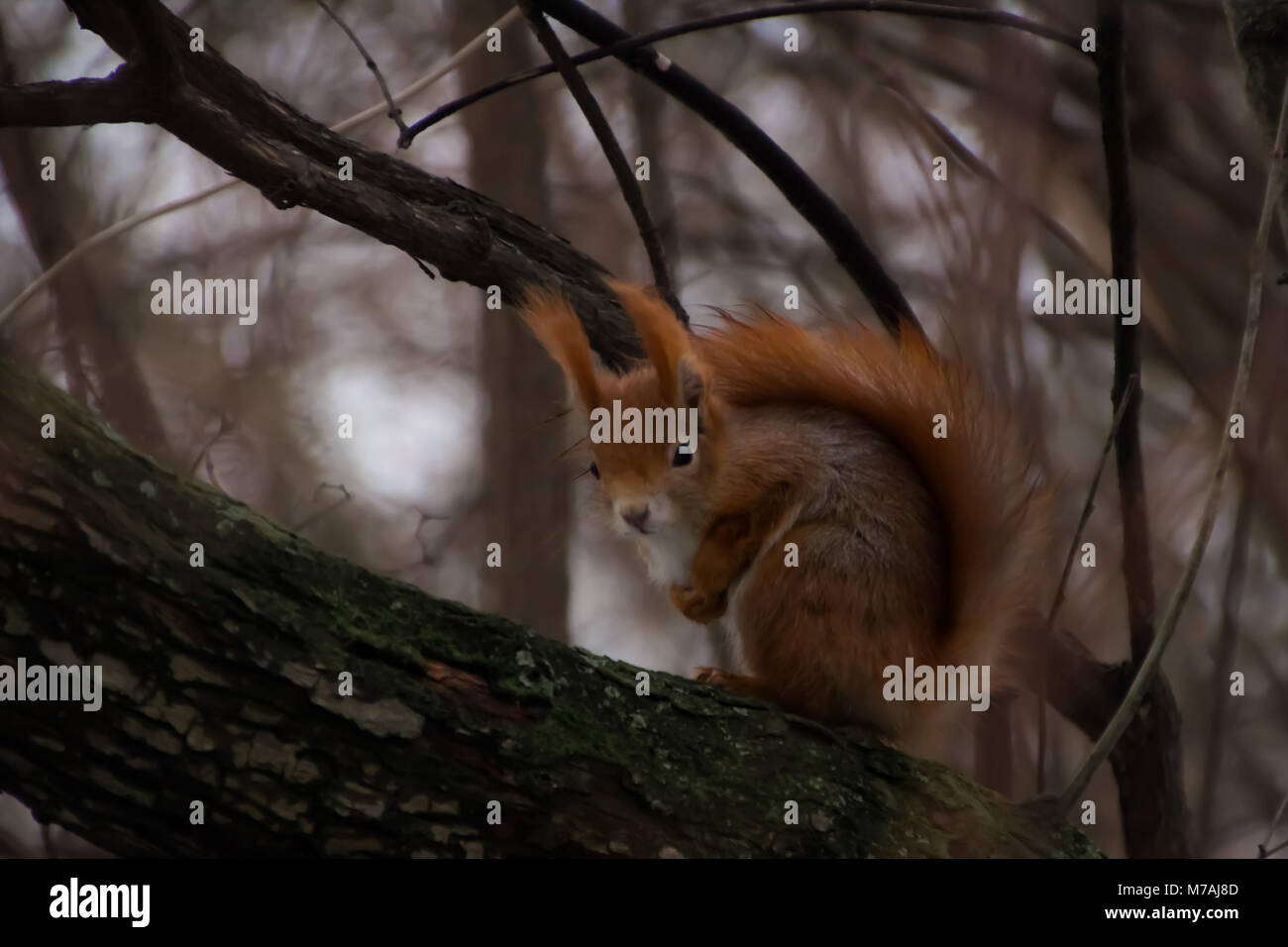 squirrel - Stock Image