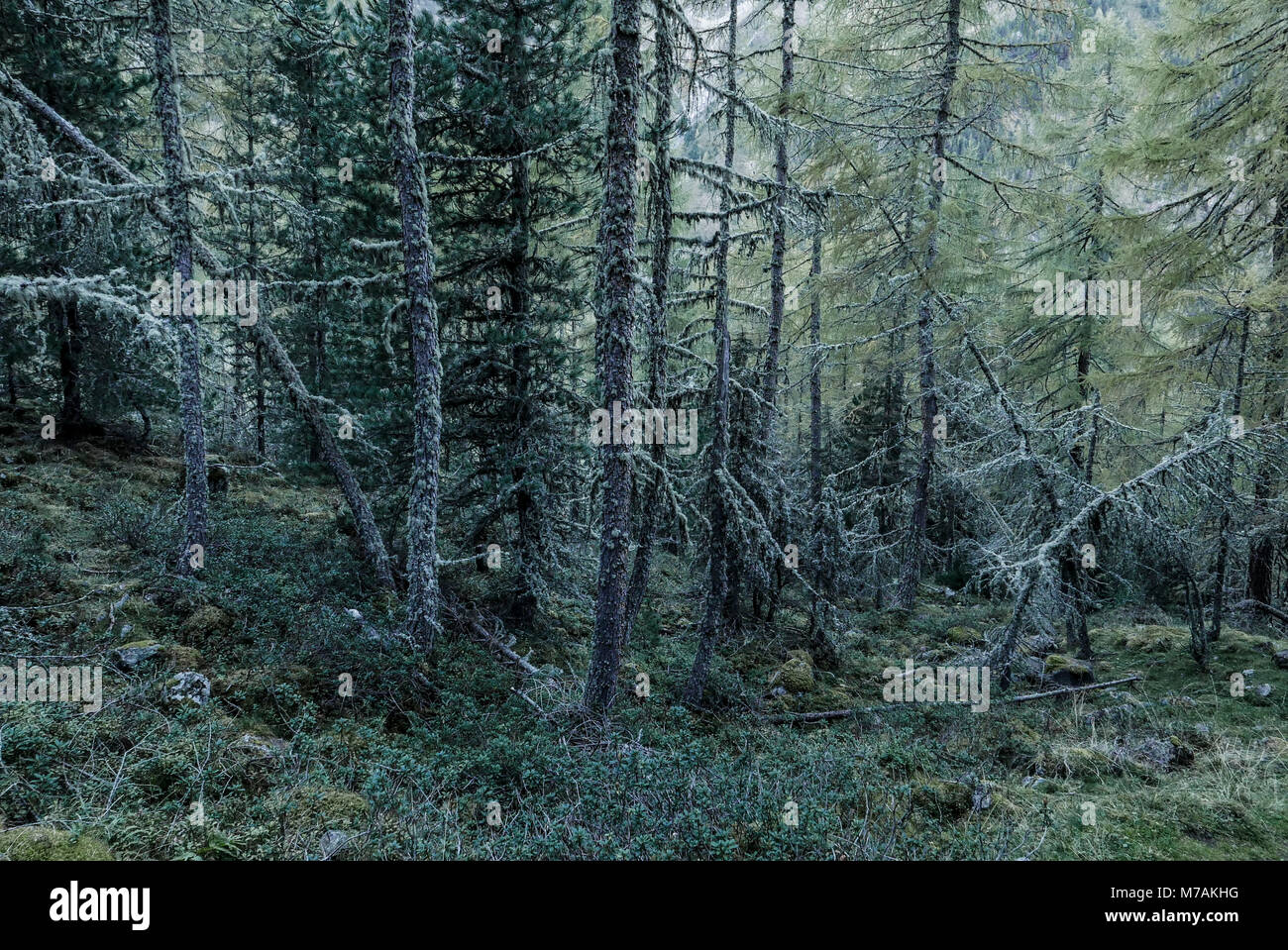mystic forest, lichens overcast larches Stock Photo