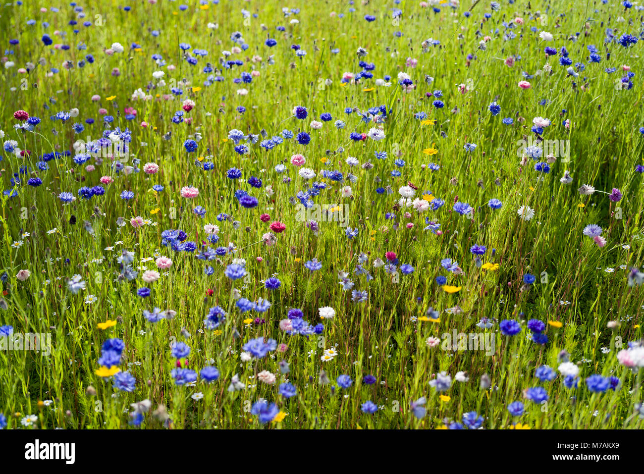 Part of a grassed barrier space between the main A702 road and a housing estate in Biggar, Scotland, left unmowed - Stock Image