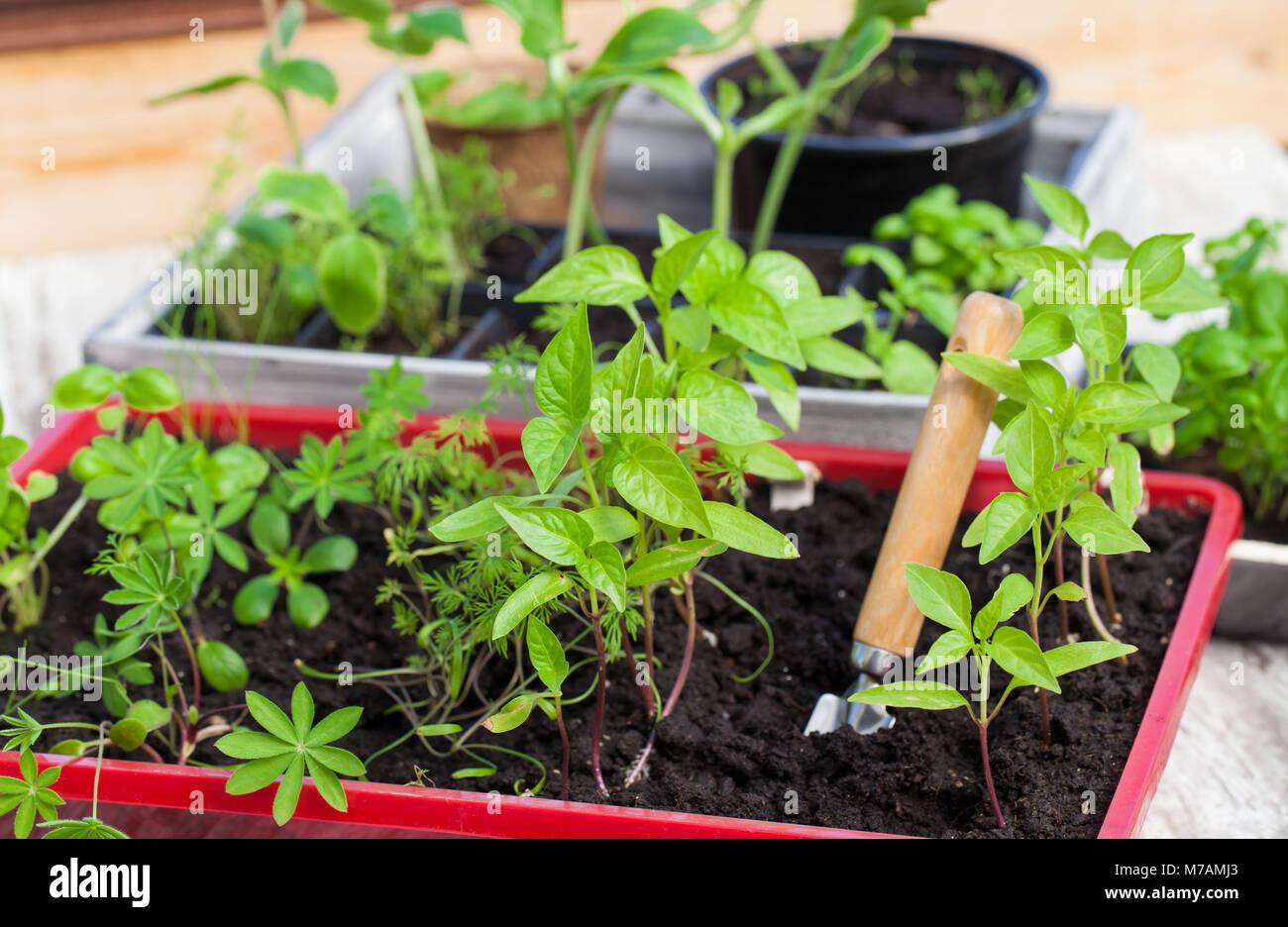 Young plants, seedlings, nursery - Stock Image