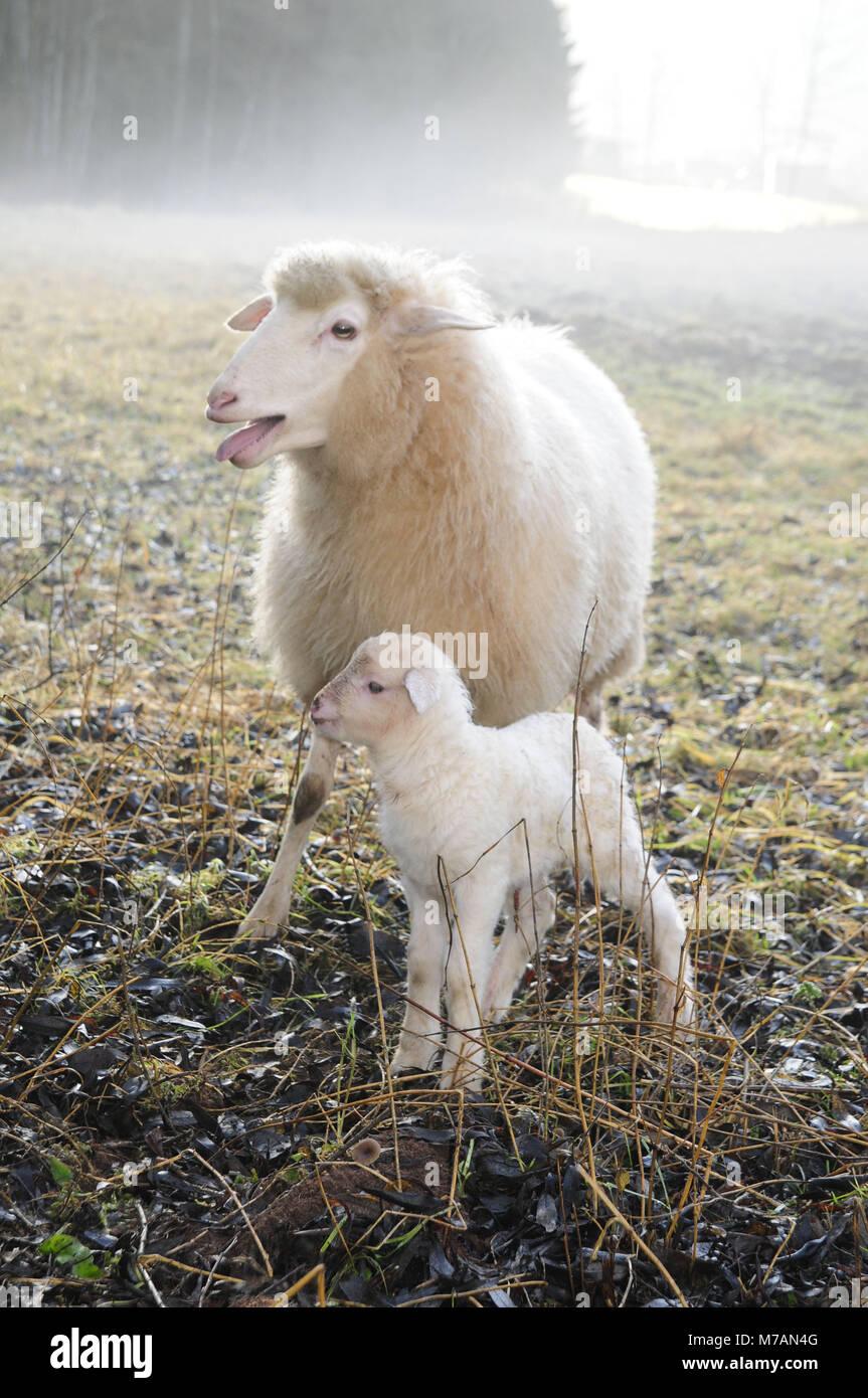 Ewe close lamb on meadow in the morning haze - Stock Image