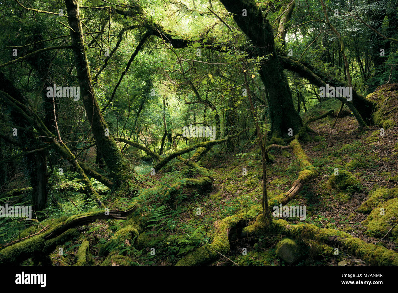 Primeval forest in mystical light at Bantry Bay, Cork, Ireland - Stock Image