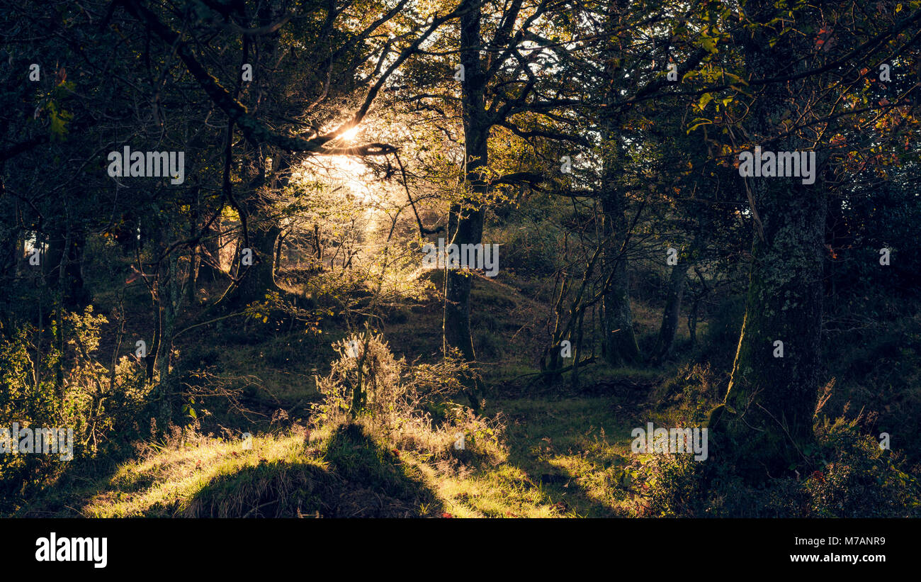 Light and shadow in dense forest in Bizkaia, mystical backlit scene with morning dew, Basque Country, Northern Spain, - Stock Image