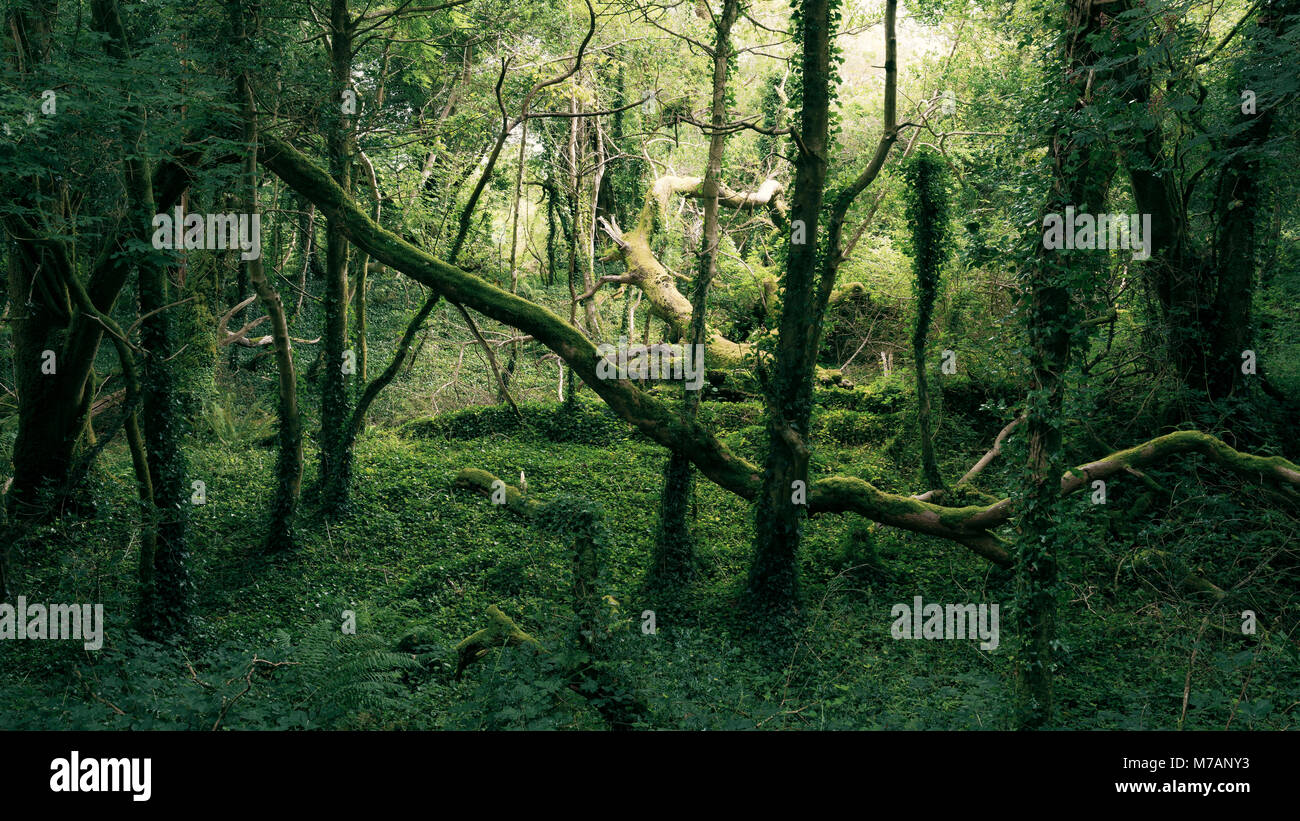 Primeval forest in mystical light near Bantry Bay, Cork, Ireland - Stock Image