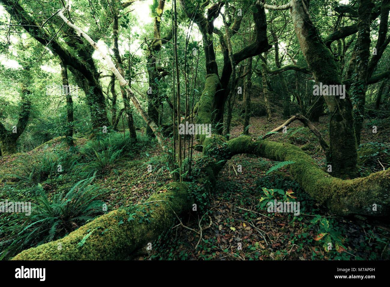 Glengarriff primeval forest, Cork, Ireland - Stock Image