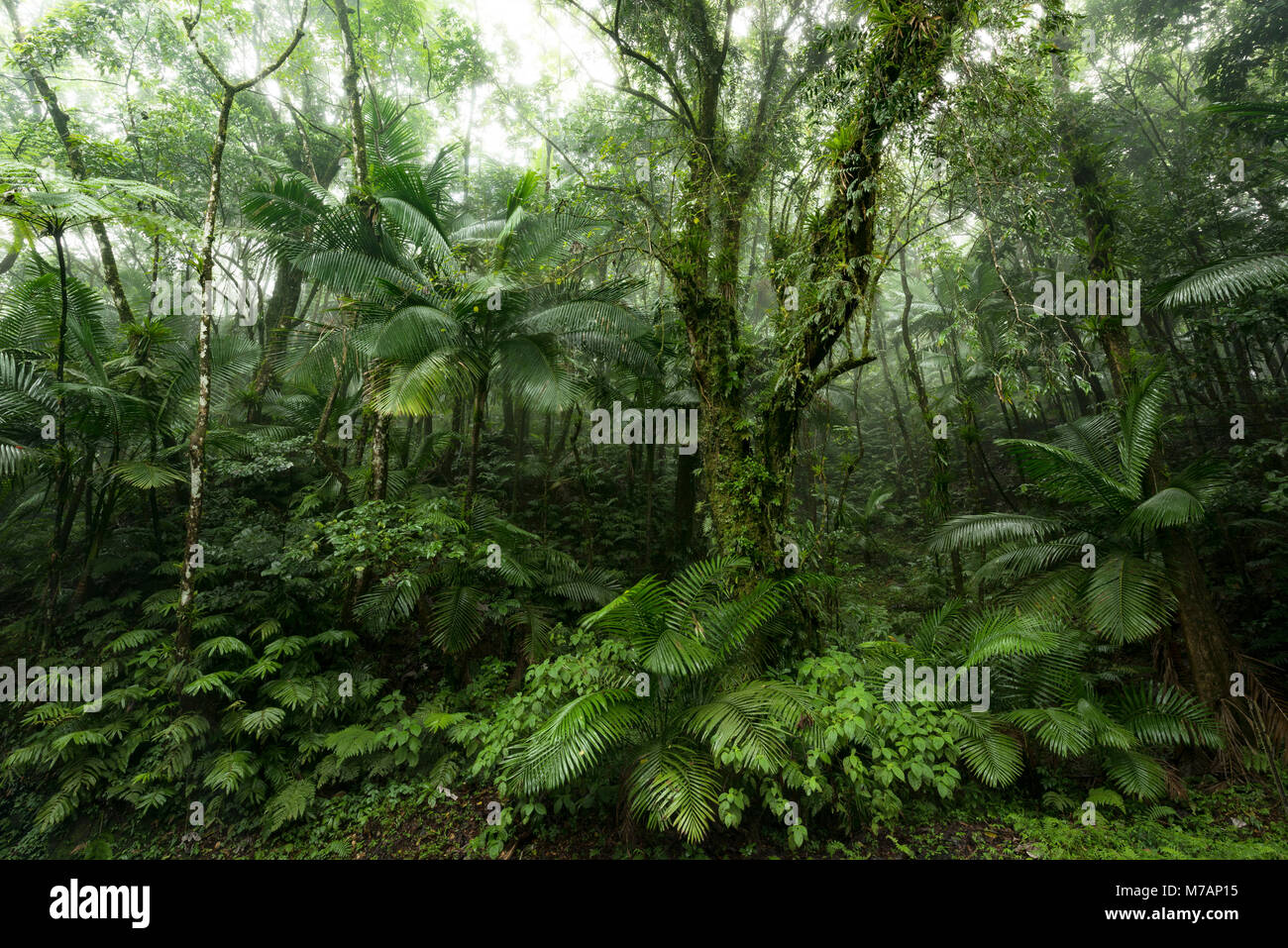 Green jungle scene from the rainforest Yunque on the Caribbean island Puerto Rico - Stock Image