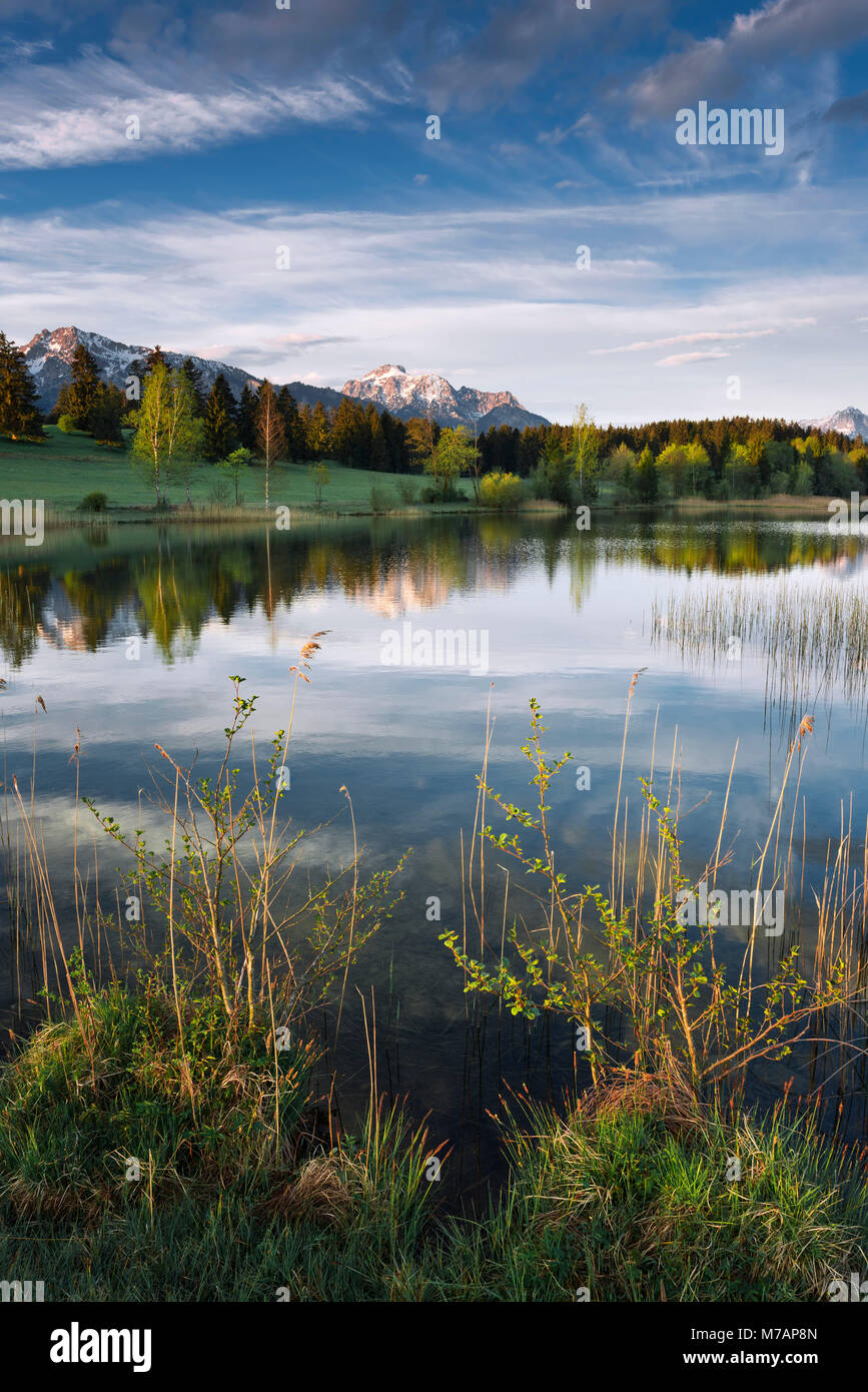 Bavaria, morning on a small idyllic lake in the Allgäu region, Alps in the background, riparian vegetation - Stock Image