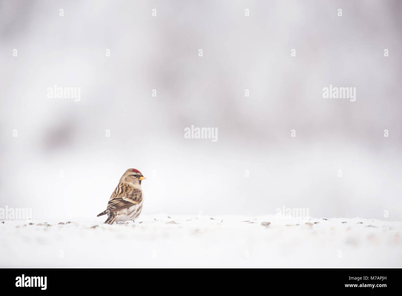 Common Redpoll on snow, blurred background - Stock Image
