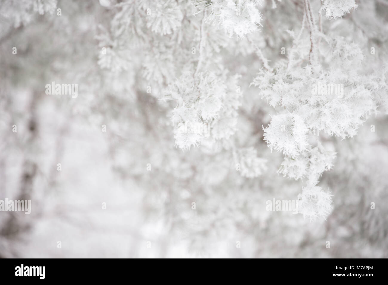 Close-up of frosted Pine branches thick white hoarfroast, blurred background - Stock Image