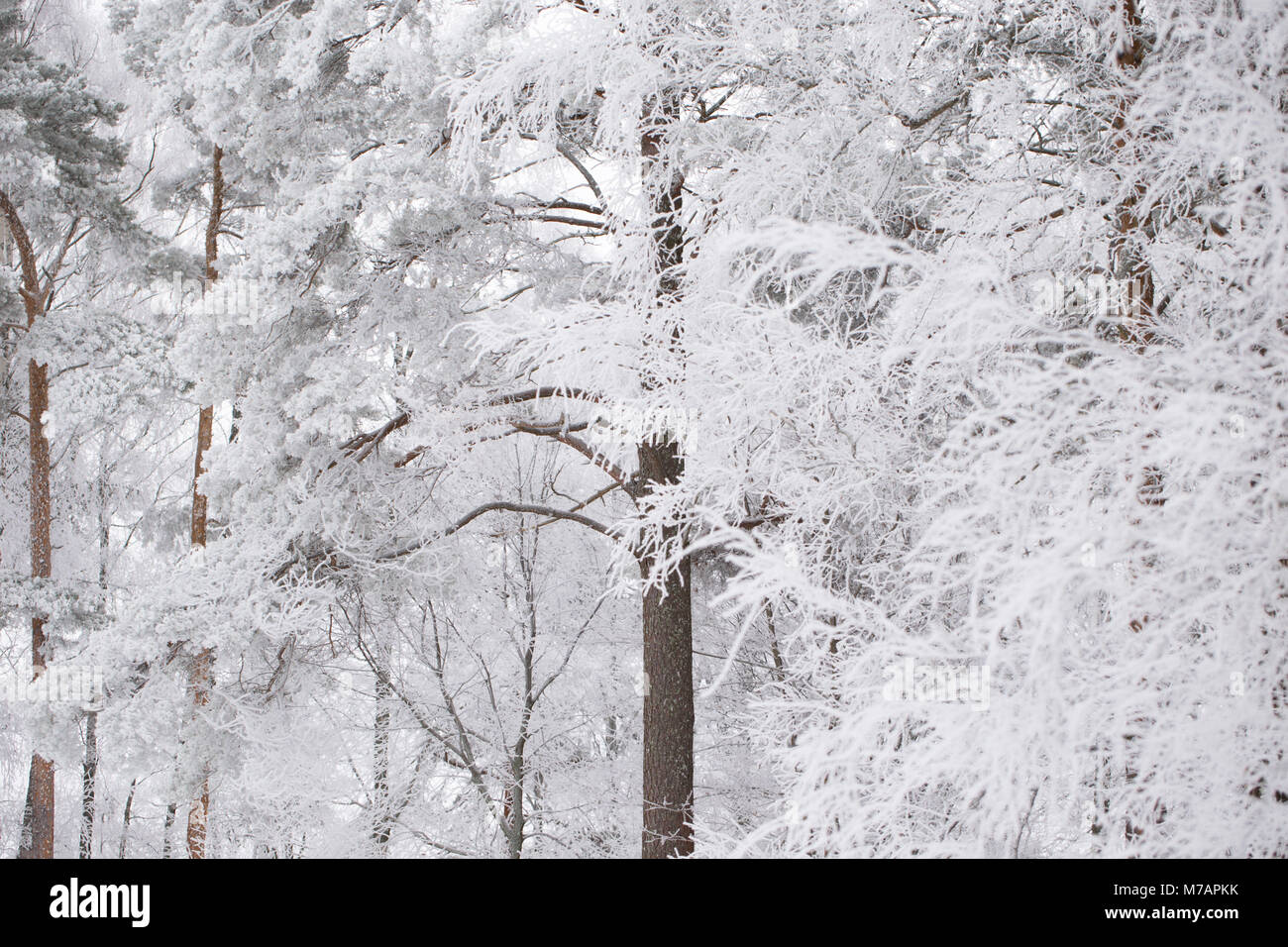 Frozen trees, covered with thick white hoarfrost, blurred background - Stock Image