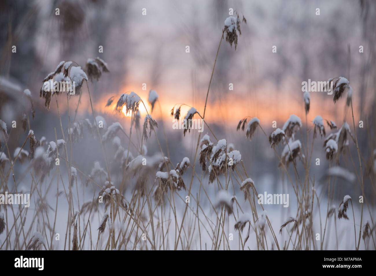 Snowy Reed Silhouettes Against Winter Sunset, blurred background - Stock Image