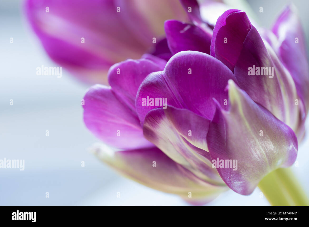 Close-up Of Ultraviolet Tulip. - Stock Image