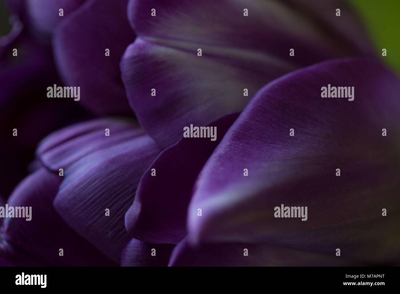 Close-up of ultraviolet tulip petals - Stock Image