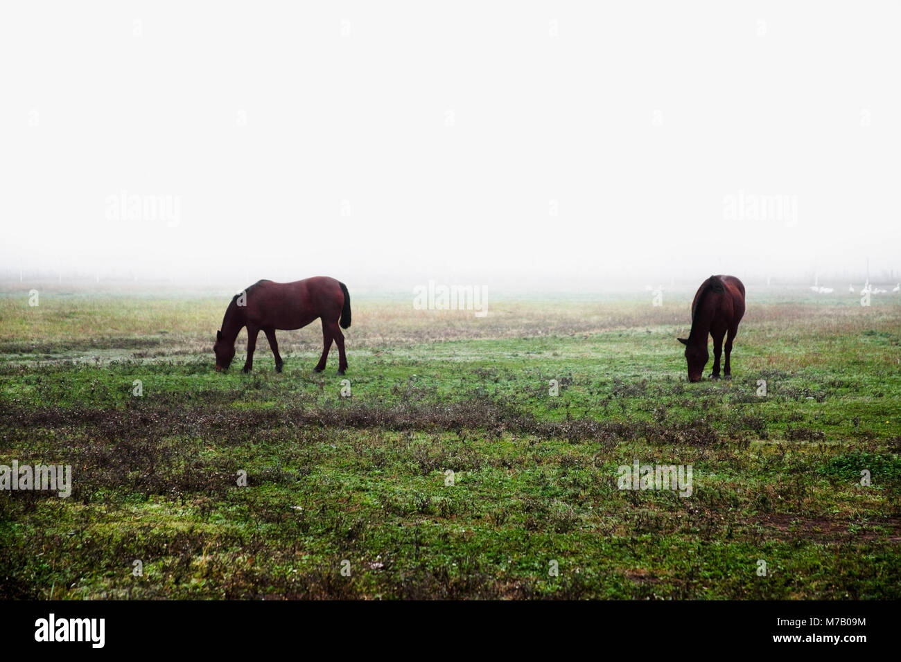 Horses grazing in a pasture - Stock Image