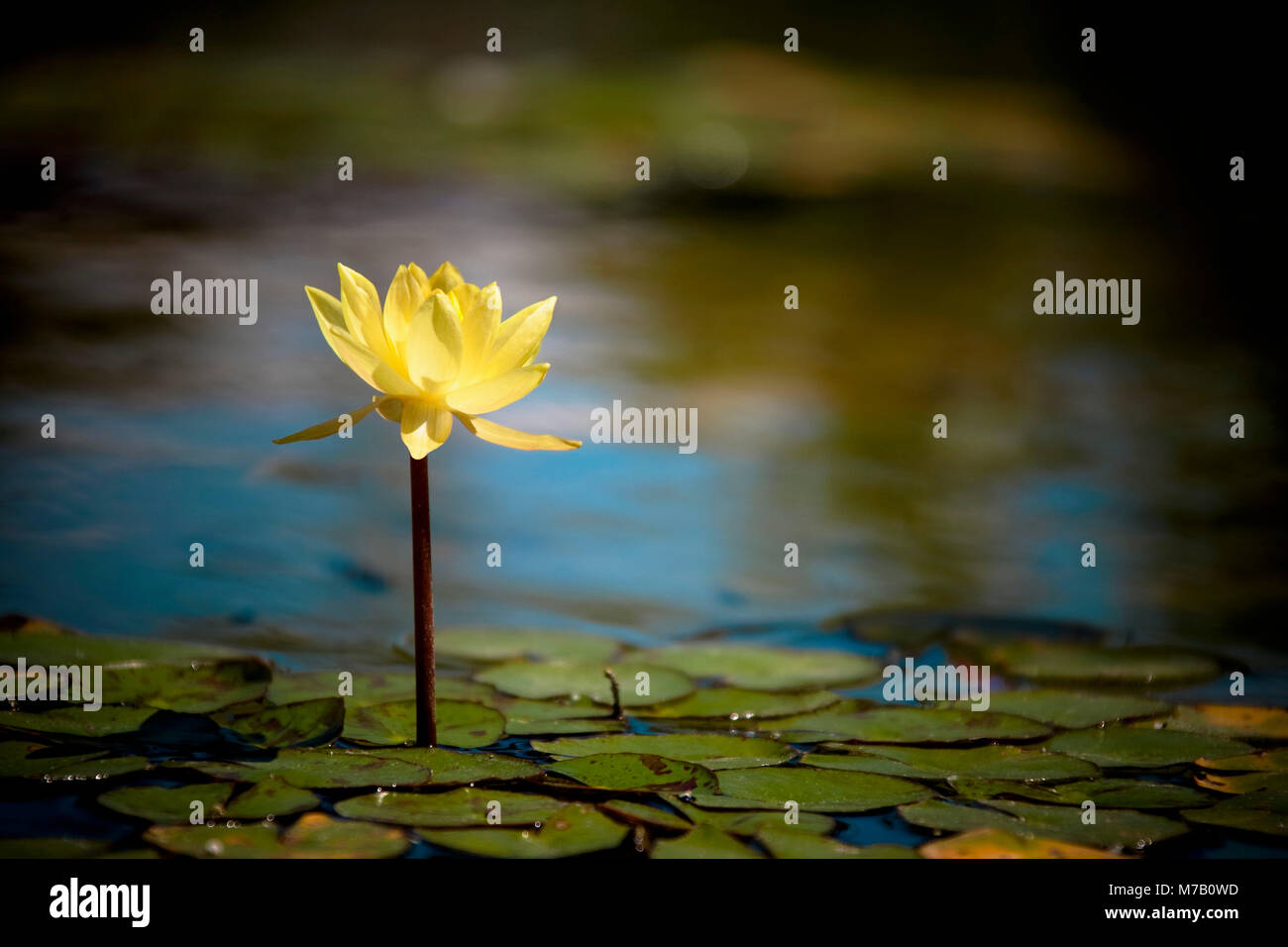 Water Lily with Lily pads in a pond Stock Photo