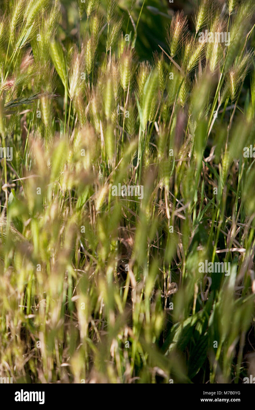 Wheat crop in a field, Napa Valley, California, USA - Stock Image