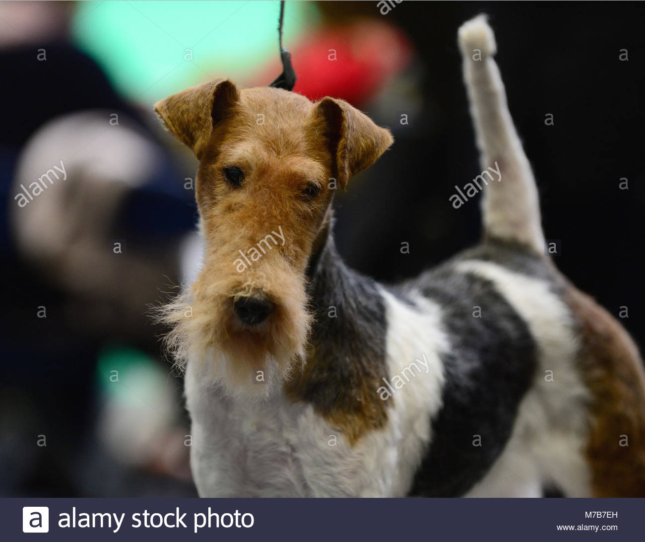 Birmingham, UK. 10 March, 2018. Isetta d'hondrecoutre, 4, the Wire Fox Terrier from France, ready for her show - Stock Image