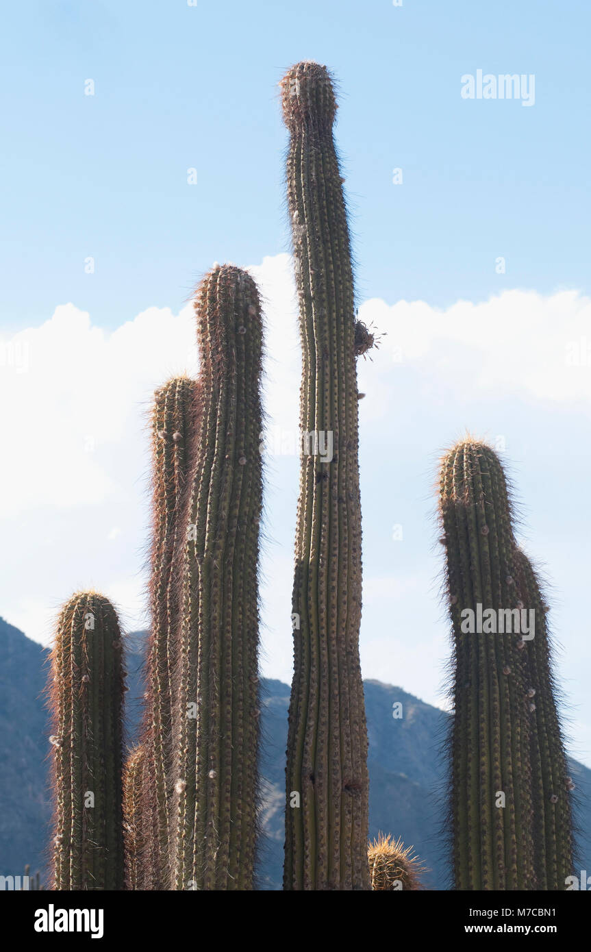 Close-up of Cardon cactus (Pachycereus pringlei), La Rioja Province, Argentina Stock Photo