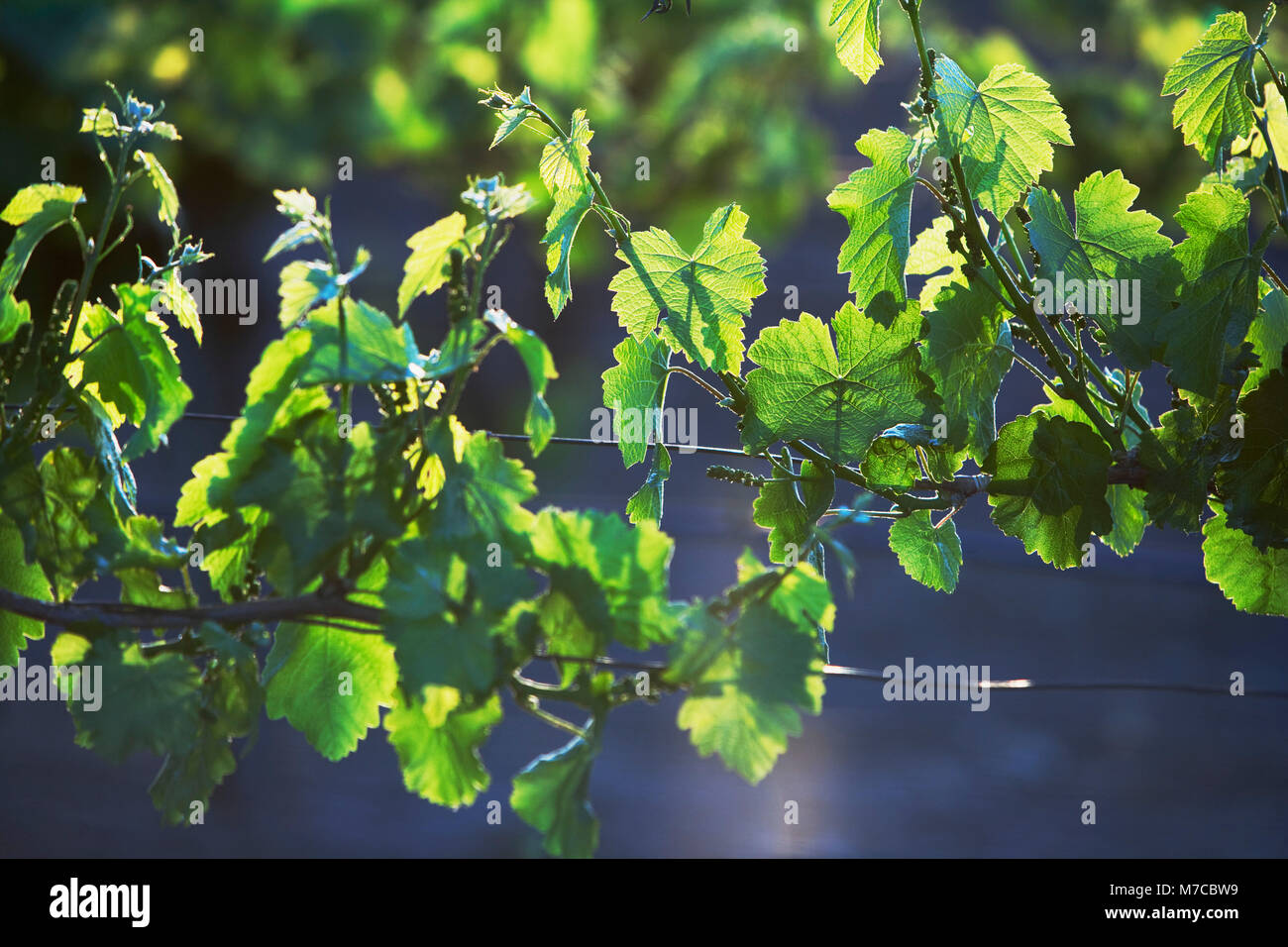 Close-up of vine leaves Stock Photo
