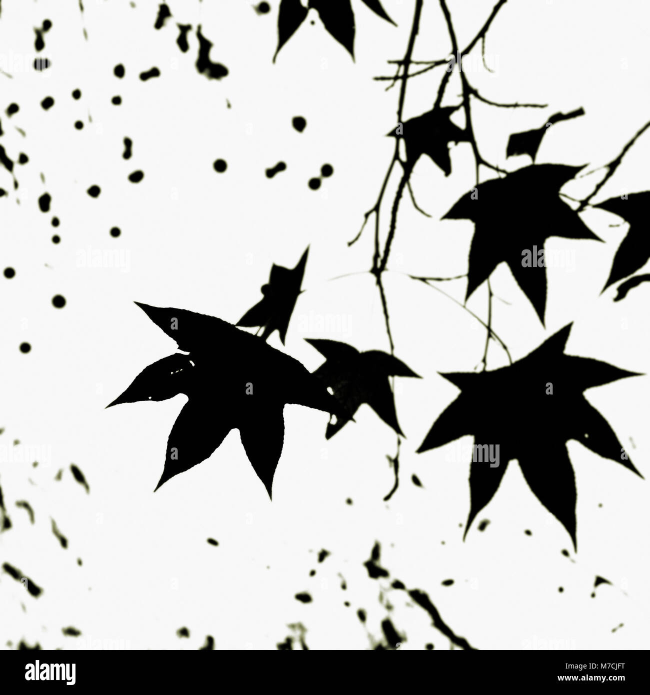 Maple leaves on a tree - Stock Image