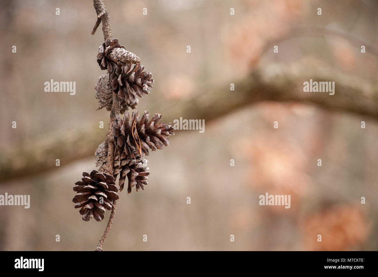A small group of pinecones hang from a bare branch as Winter fades and Spring approaches. - Stock Image