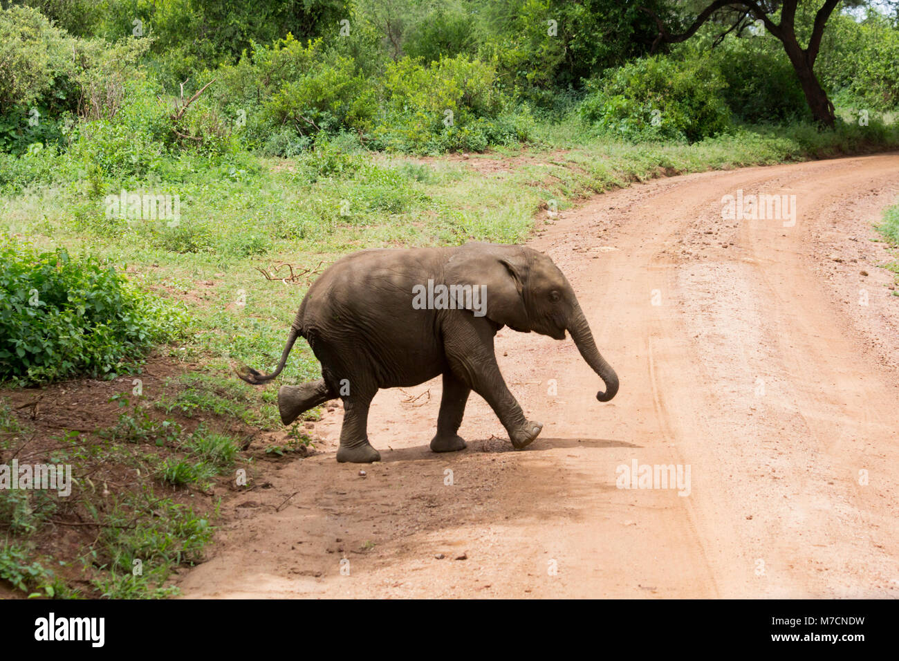 Baby elephant walking across a dusty track in Lake Manyara National Park, Tanzania in May. - Stock Image