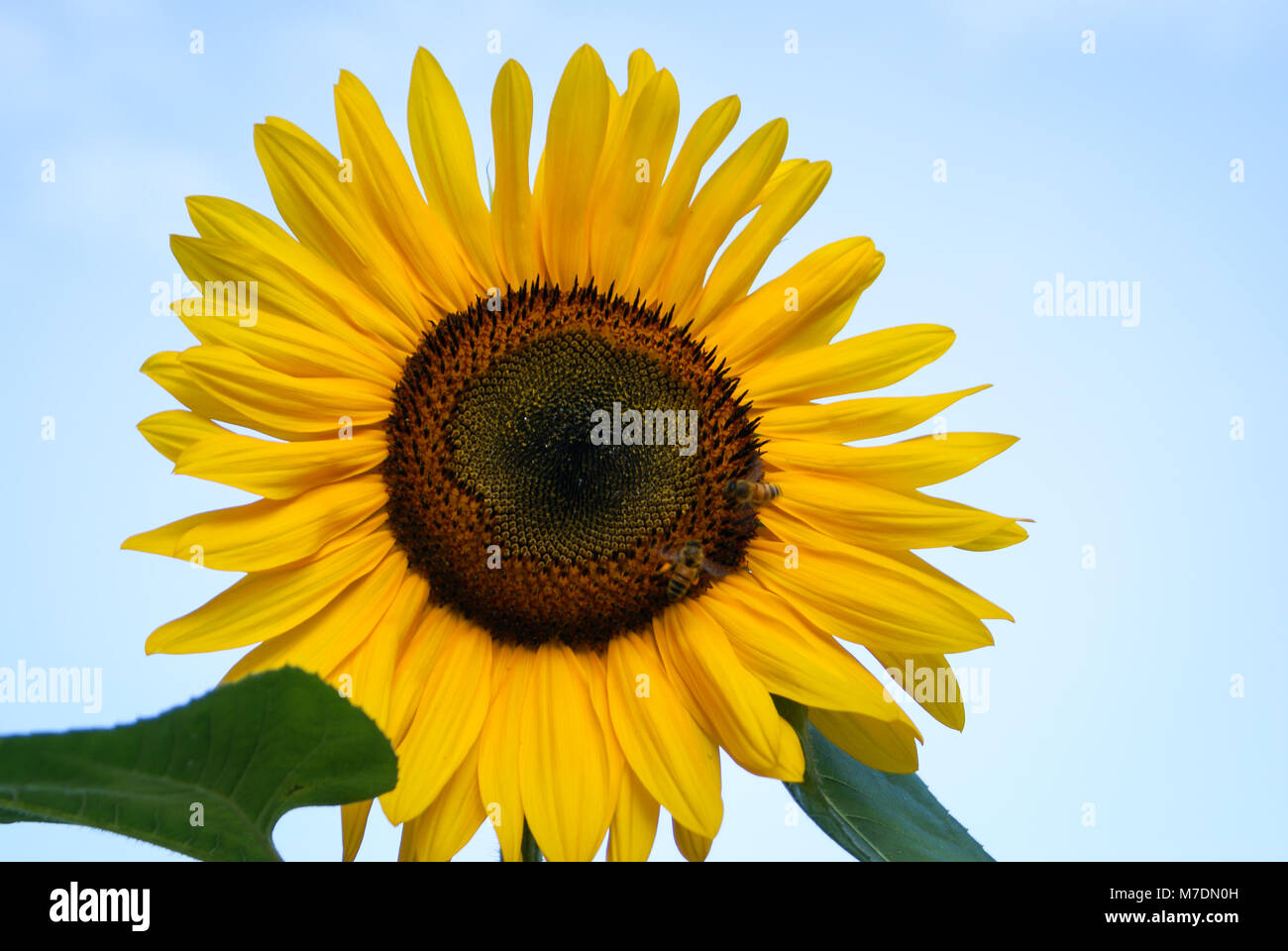 Two Bees on Sunflower - Stock Image