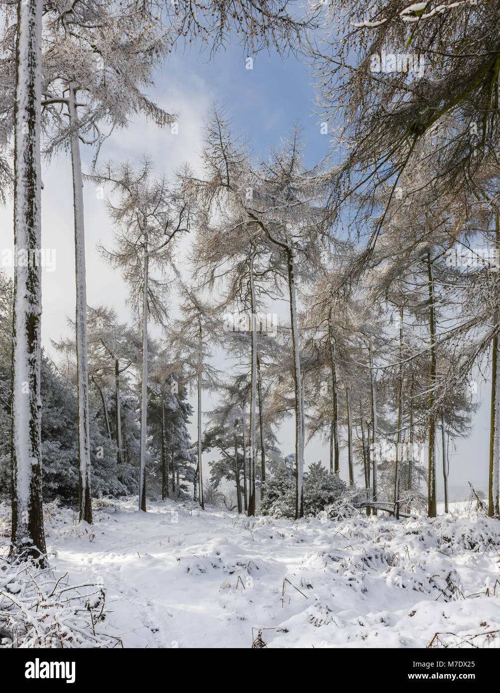 A small group of trees with snow covering the ground at Sharpley Rocks near Coalville; outskirts of Charnwood Forest, - Stock Image