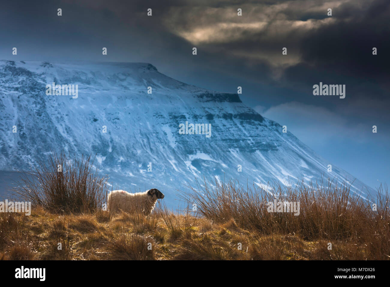 A black faced sheep in a field beneath a snow covered Ingleborough, Ingleborough is one of the three peaks forming - Stock Image